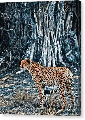 Alert Cheetah Canvas Print by Darcy Michaelchuk