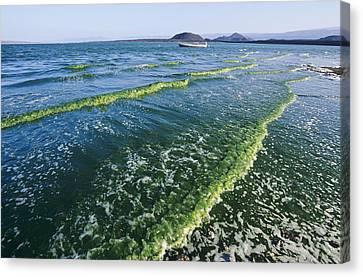 Algal Bloom Canvas Print by Alexis Rosenfeld