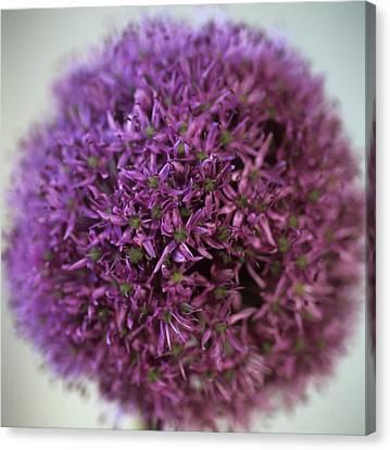 Allium Flower (allium Sp.) Canvas Print by Cristina Pedrazzini