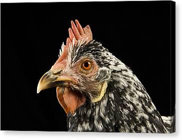 An Ancona Chicken At The Soukup Farm Canvas Print by Joel Sartore