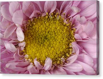 An Aster Flower Aster Ericoides Canvas Print by Joel Sartore