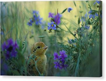 An Attwaters Prairie Chick Surrounded Canvas Print by Joel Sartore