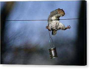 An Eastern Gray Squirrel Sciurus Canvas Print by Chris Johns