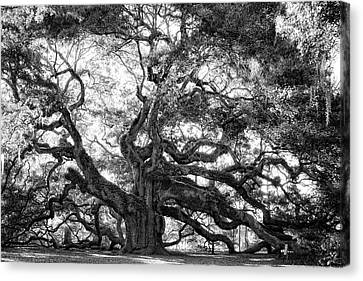 Angel Oak Canvas Print by Lynne Jenkins
