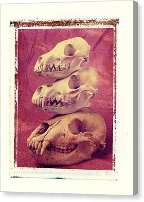 Animal Skulls Canvas Print by Garry Gay