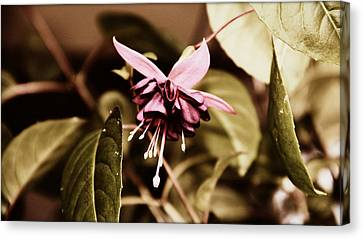 Antiqued Fuchsia Canvas Print by Jeanette C Landstrom