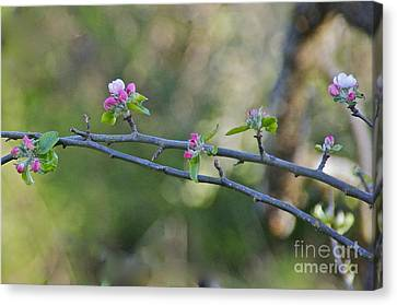 Apple Blossoms Canvas Print by Sean Griffin