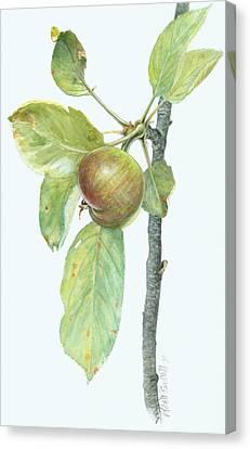 Apple Branch Canvas Print by Scott Bennett