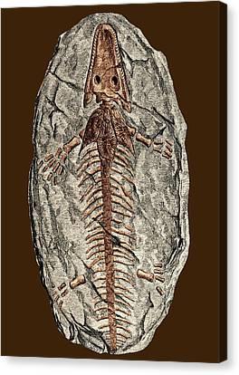 Archegosaurus Decheni, Amphibian Fossil Canvas Print