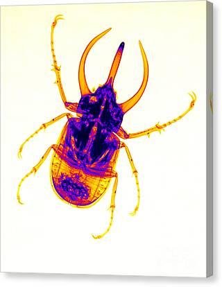 Atlas Beetle X-ray Canvas Print by Ted Kinsman
