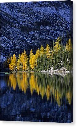 Autumn, Alpine Larch Trees, Lake Agnes Canvas Print by John Sylvester