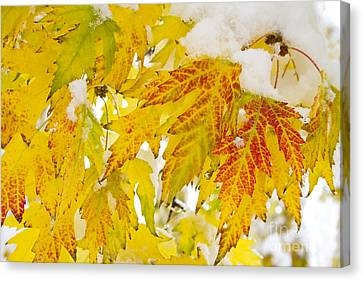 Autumn Snow  Canvas Print by James BO  Insogna
