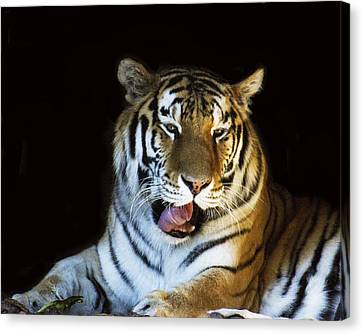 Awaking Tiger Canvas Print