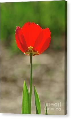 Canvas Print featuring the photograph Beauty In Red by Dariusz Gudowicz