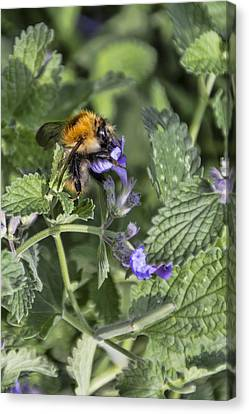 Canvas Print featuring the photograph Bee by David Gleeson