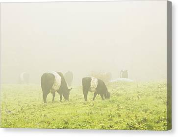Belted Galloway Cows Grazing On Foggy Farm Field Maine Canvas Print by Keith Webber Jr