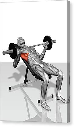 Human Body Part Canvas Print - Bench Press Incline (part 2 Of 2) by MedicalRF.com