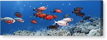 Bigeye Fish Canvas Print by Alexander Semenov