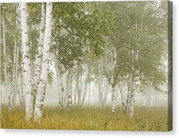 Birch Trees In The Fog Thunder Bay Canvas Print by Susan Dykstra