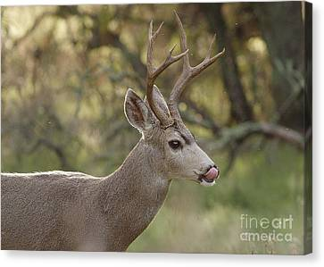 Canvas Print featuring the photograph Black-tailed Deer by Doug Herr