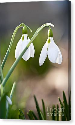 Blooming Snowdrops Canvas Print