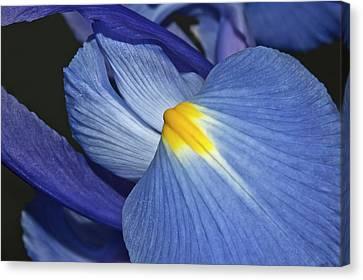 Blue Iris Canvas Print by Carolyn Marshall