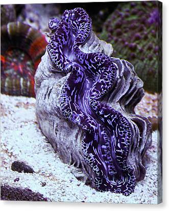 Blue Metallic Maxima Clam Canvas Print by Erik Hovind