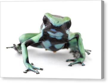 Blue Poison Dart Frog Barbilla Np Costa Canvas Print by Piotr Naskrecki