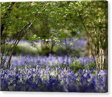 Bluebells In Woodland Canvas Print