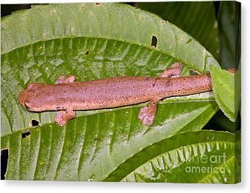 Bolitoglossine Salamander Canvas Print by Dante Fenolio