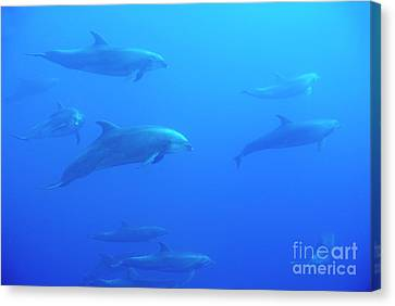 Bottle-nosed Dolphins Canvas Print by Sami Sarkis