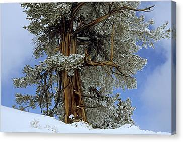 Bristlecone Pine Tree Blanketed In Snow Canvas Print by Tim Laman