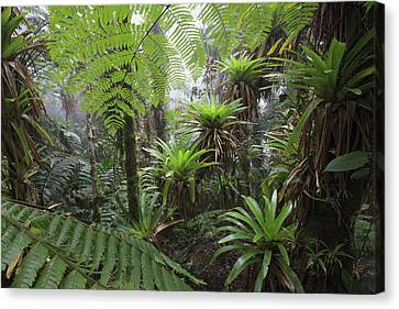 Bromeliad Bromeliaceae And Tree Fern Canvas Print by Cyril Ruoso