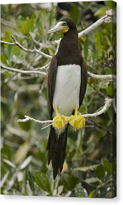 Brown Booby, Sula Leucogaster Canvas Print by Tim Laman
