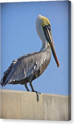 Brown Pelican Canvas Print by Adam Romanowicz