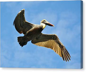 Brown Pelican In Flight Canvas Print by Paulette Thomas