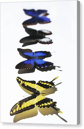 Butterflies Canvas Print by Lawrence Lawry