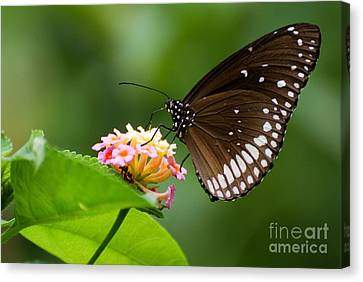 Butterfly Canvas Print by Fotosas Photography