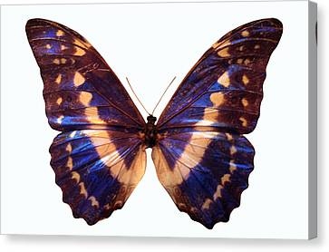Butterfly Canvas Print by John Foxx