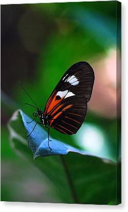 Butterfly Resting Canvas Print by Luis Esteves