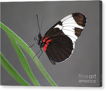 Canvas Print featuring the photograph Butterfly  by Tam Ryan