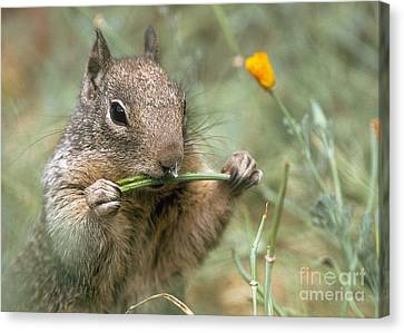 Canvas Print featuring the photograph California Ground Squirrel by Doug Herr
