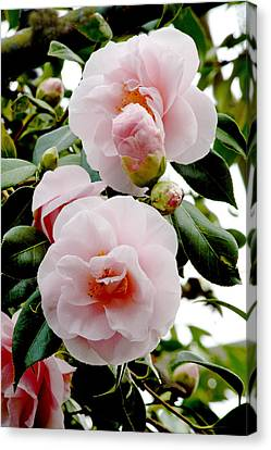 Camellia Flowers (camellia Japonica) Canvas Print by Dr Keith Wheeler