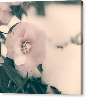 Camellia Canvas Print by Joana Kruse