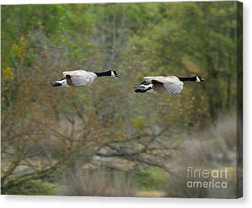 Canvas Print featuring the photograph Canada Geese by Doug Herr
