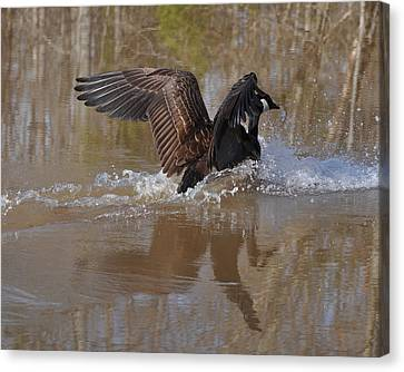 Canada Goose Landing C0255a Canvas Print by Paul Lyndon Phillips
