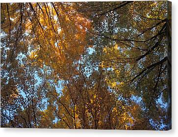 Canopy Of Autumn Branches Canvas Print by David Chapman