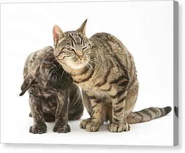Cat And Mastiff Pup Canvas Print by Jane Burton