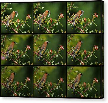 Canvas Print featuring the photograph Cedar Wax Wing Having Lunch by Jim Boardman