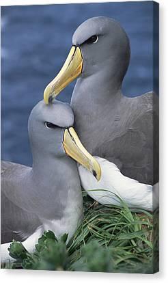 Chatham Albatross Thalassarche Eremita Canvas Print